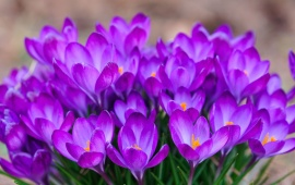 A Bunch Of Crocuses