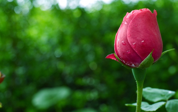 A Perfect Rose Bud (click to view)