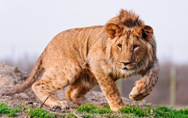 A Young Lion Walking