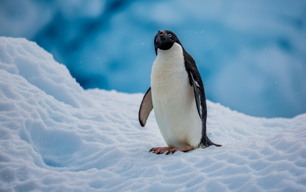 Adelie Penguin (click to view)