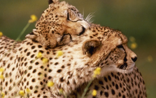 Affectionate Cheetahs (click to view)
