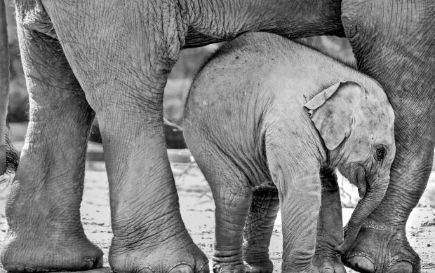 Elephant HD Wallpapers Free Wallpaper Downloads