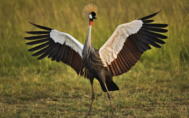 African Crowned Crane (click to view)