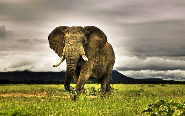 African Elephant (click to view)