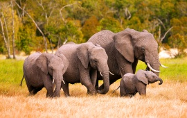 African Elephant Family In Kenya
