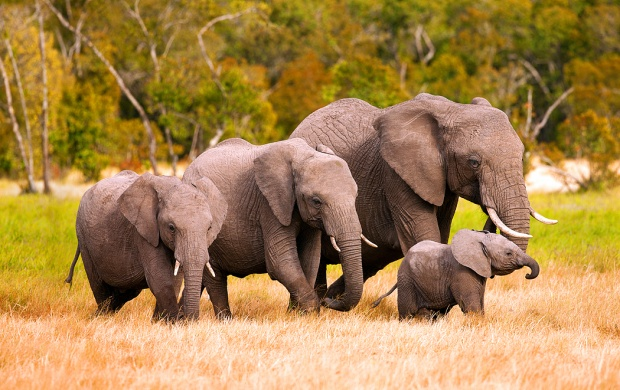 African Elephant Family In Kenya (click to view)
