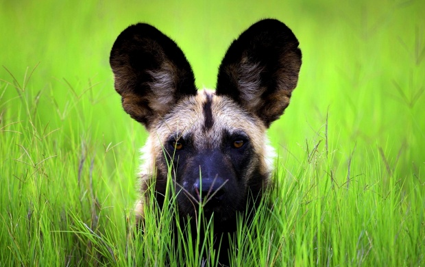 African Wild Dog Puppies (click to view)