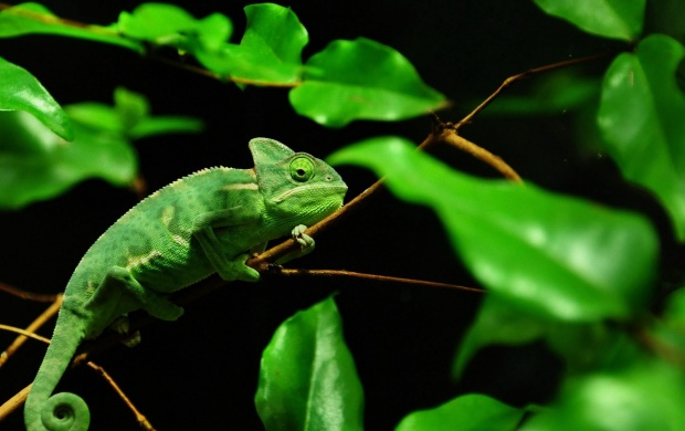 Alone Chameleon (click to view)