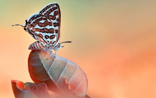 Amazing Butterfly Sitting At Leaves (click to view)