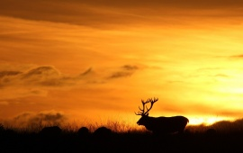 Amazing Deer Sunset