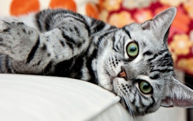 American Shorthair Silver Cat