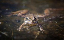 Amphibian Frog In Water