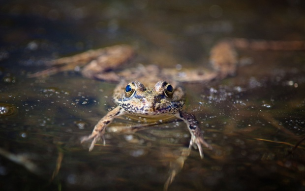 Amphibian Frog In Water (click to view)