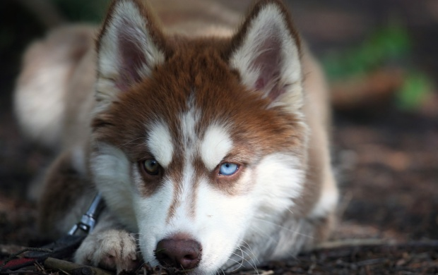 Angry Husky Dog Face (click to view)