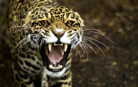 Angry Predator Leopard