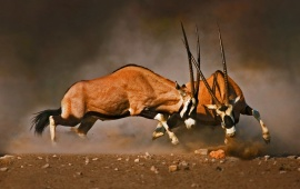 Antelope Fight