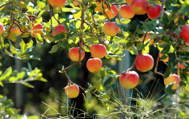 Apples On Apple Tree (click to view)