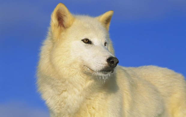 Arctic Wolf (click to view)