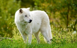Arctic Wolf And Green Grass