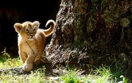 Asian Lion Cubs
