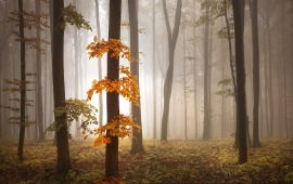 Autumn Foggy Forest