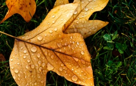 Autumn Leaf with Water Drops
