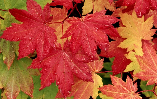 Autumn Maple Leaves (click to view)