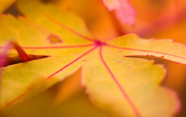 Autumn Orange Leaf Closeup (click to view)