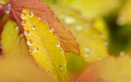 Autumn Yellow Leaves On Drops