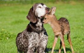 Baby Deer And Dog
