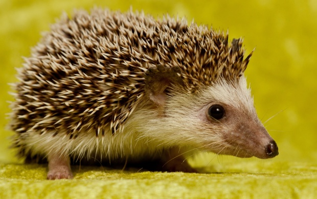 Baby Hedgehog (click to view)