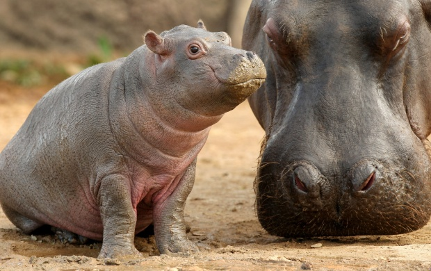 Baby Hippos (click to view)