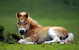 Baby Horse Sitting On Grass
