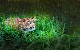 Baby Leopard In Grass