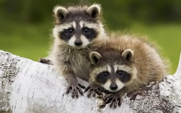 Baby Raccoons (click to view)