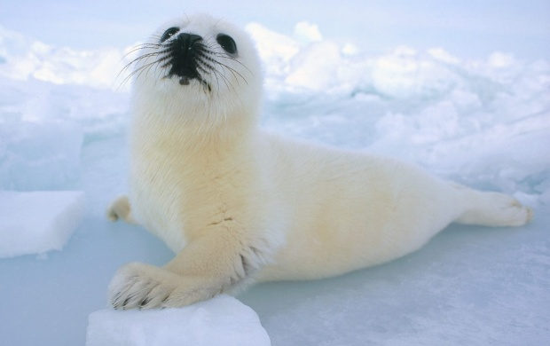 Baby Seal (click to view)