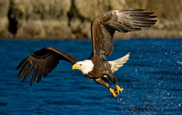 Bald Eagle Flying (click to view)