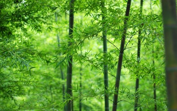 Bamboo Grove (click to view)