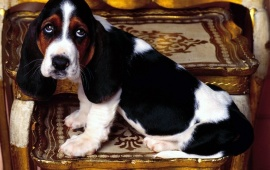 Basset Hound Dog on Chair