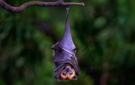 Bat Hanging Upside Down On Branch