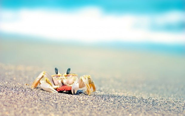 Beach Crab (click to view)