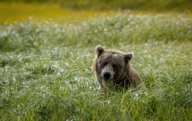 Bear Field Background