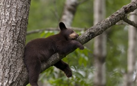 Bear Sleep On Tree Branch