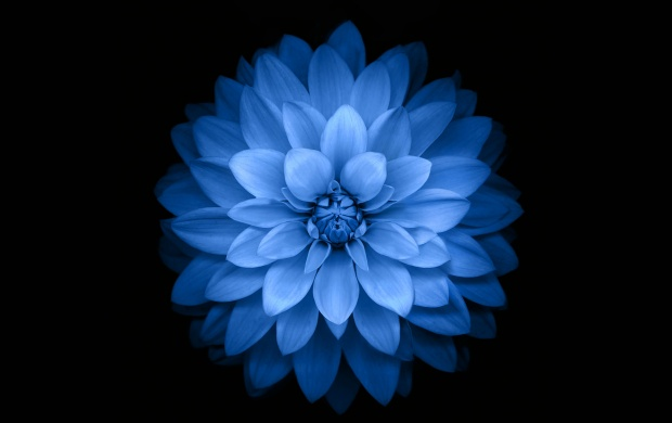 Beautiful Blue Flower on Black (click to view)