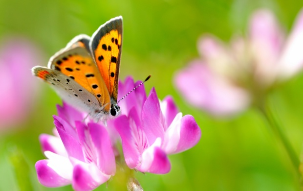 Beautiful Butterfly On Pink Flower (click to view)