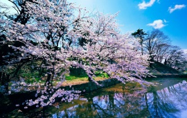 Beautiful Cherry Blossom Trees