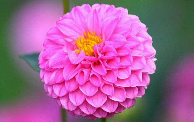 Beautiful Dahlia Flowers (click to view)