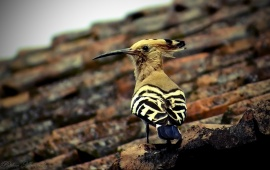 Beautiful Hoopoe Bird