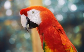 Beautiful Parrot And Beak