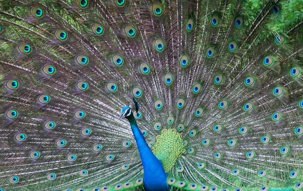 Beautiful Peacock (click to view)